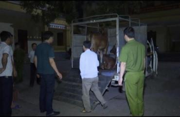 Ngăn chặn vụ tuồn gia súc mắc bệnh viêm da nổi cục từ Hà Tĩnh ra Nghệ An tiêu thụ